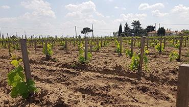 plantation-vignes