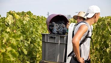 vendanges-manuelles-porteur-prestataire-viticole-gironde